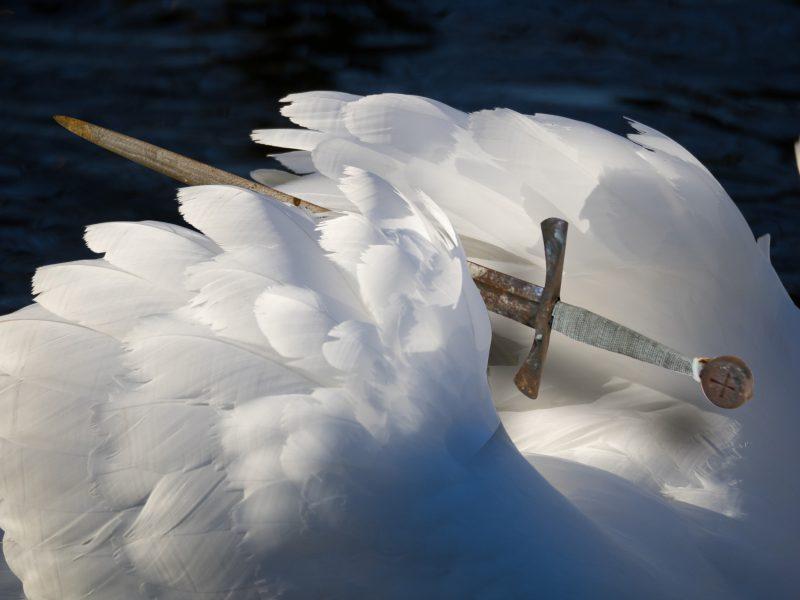 Foto : Artistic swan feathers in Sunshine showing textures